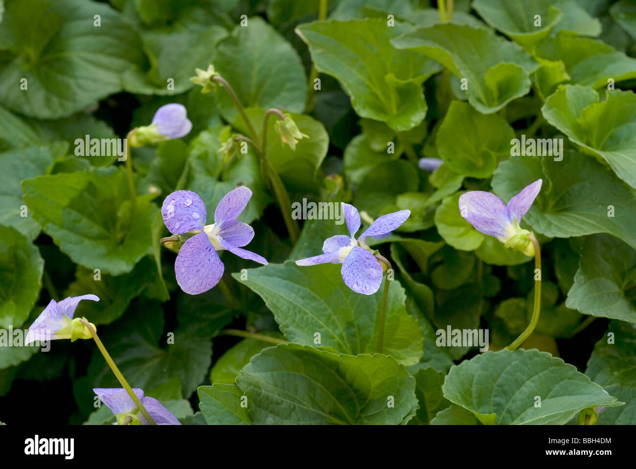 Common Blue Violet Viola sororia 'Dark Freckles', Violaceae - Stock Image