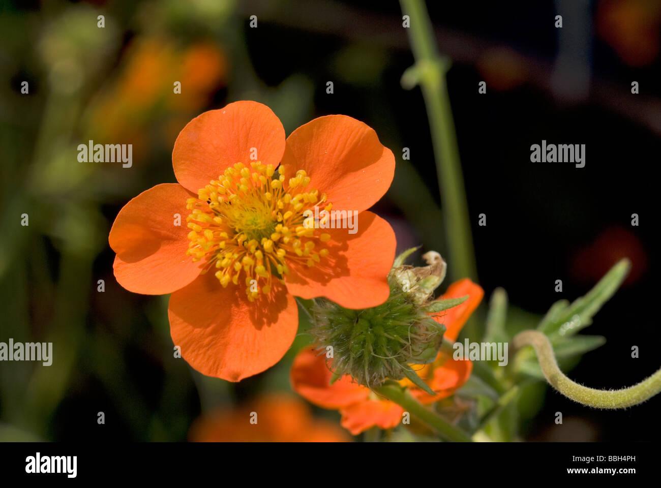 Geum coccineum 'Borisii', Rosaceae - Stock Image