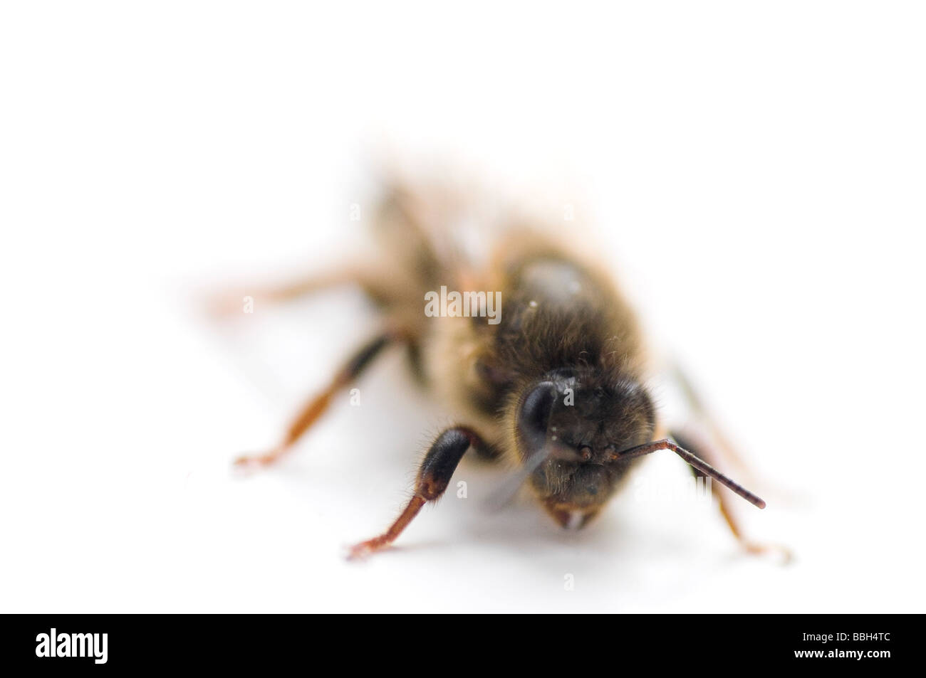 Newly emerged virgin queen honey bee - Stock Image