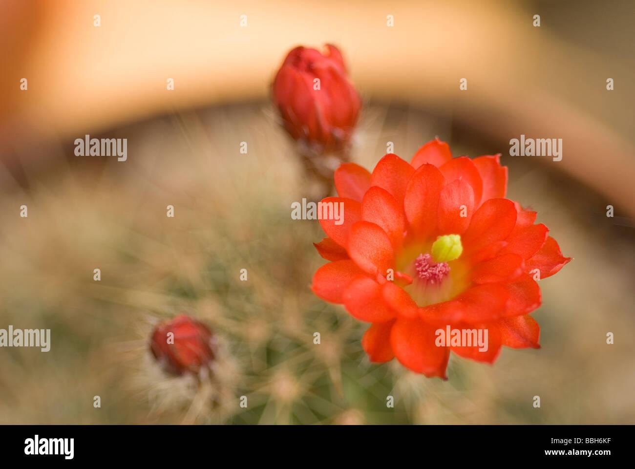 Scarlet Hedgehog Echinocereus coccineus, Cactaceae, Usa, Mexico - Stock Image
