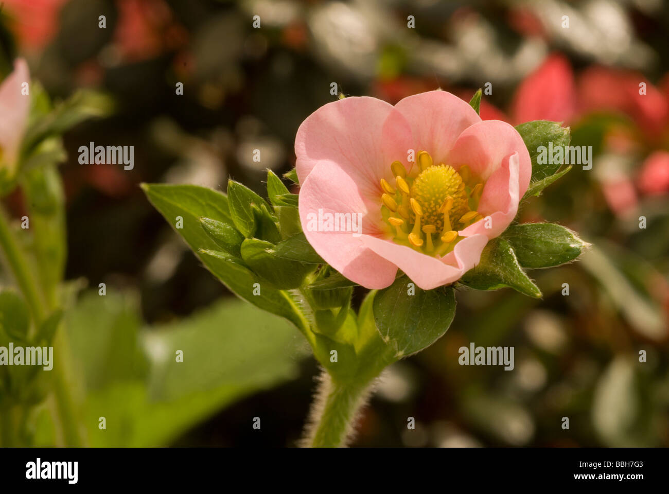 Strawberries Fragaria sp., fragola, Rosaceae - Stock Image