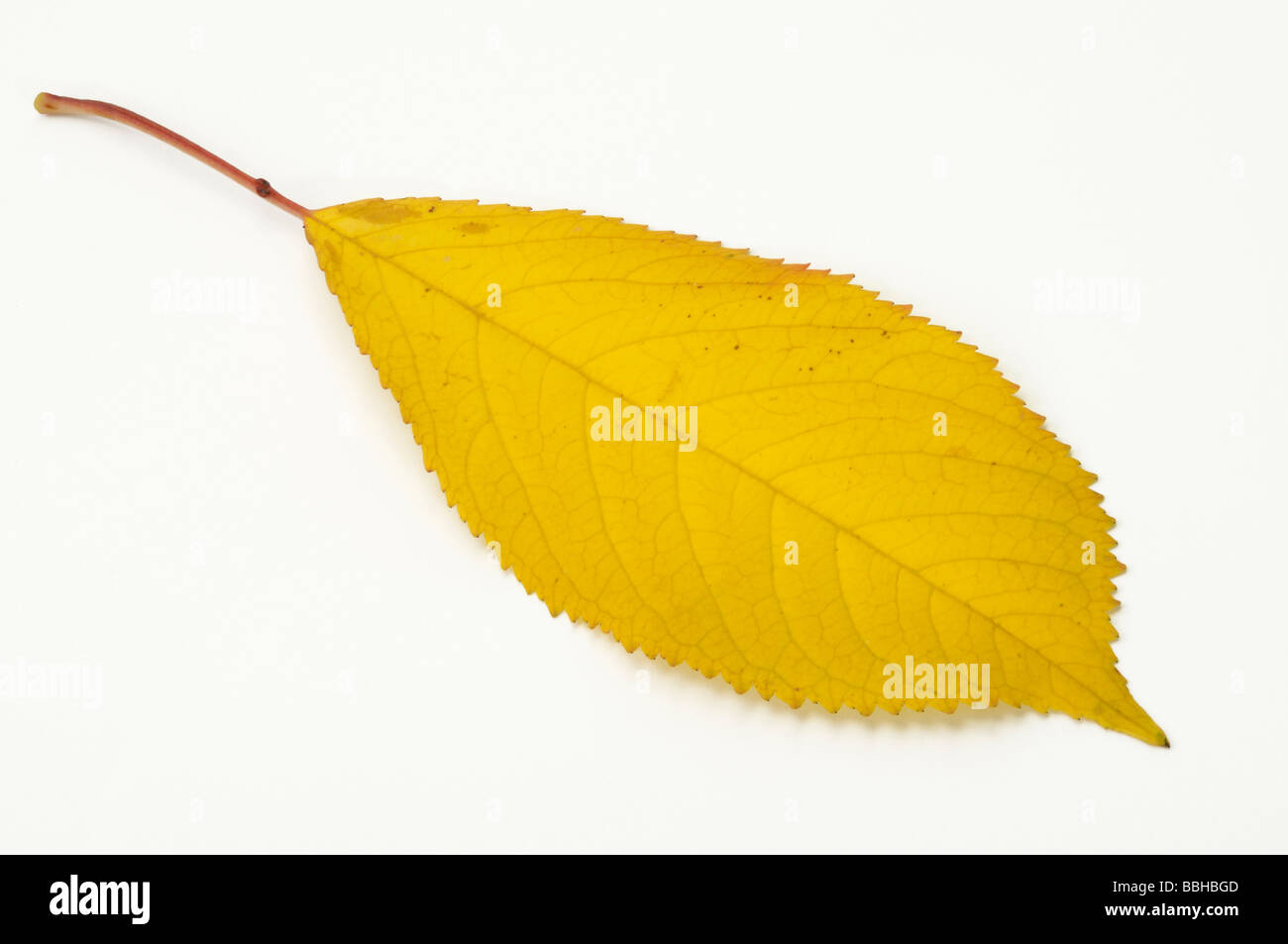 Gean, Mazzard, Wild Cherry, Sweet Cherry (Prunus avium), autumn leaf, studio picture - Stock Image