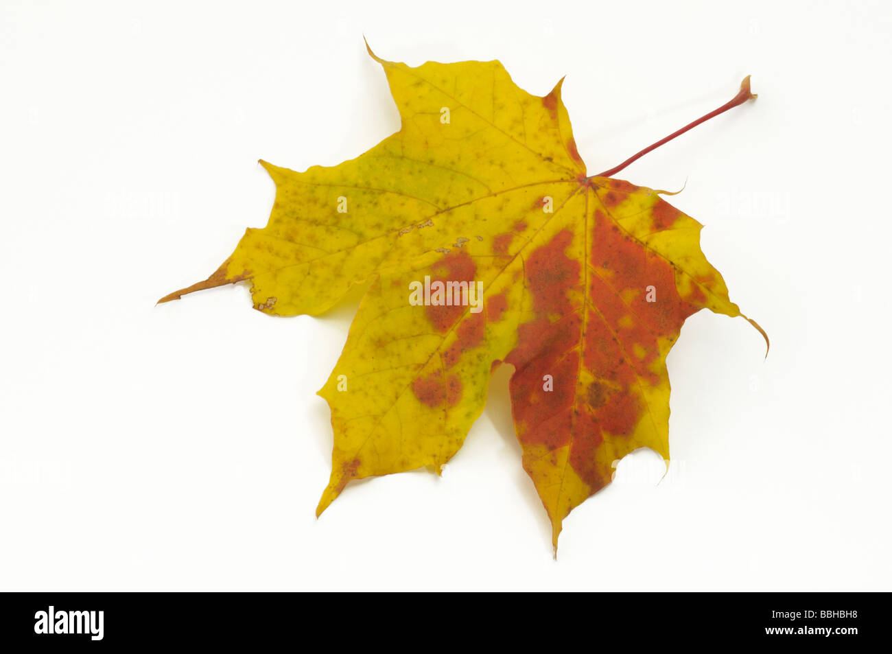 Norway Maple (Acer platanoides), autumn leaf, studio picture - Stock Image