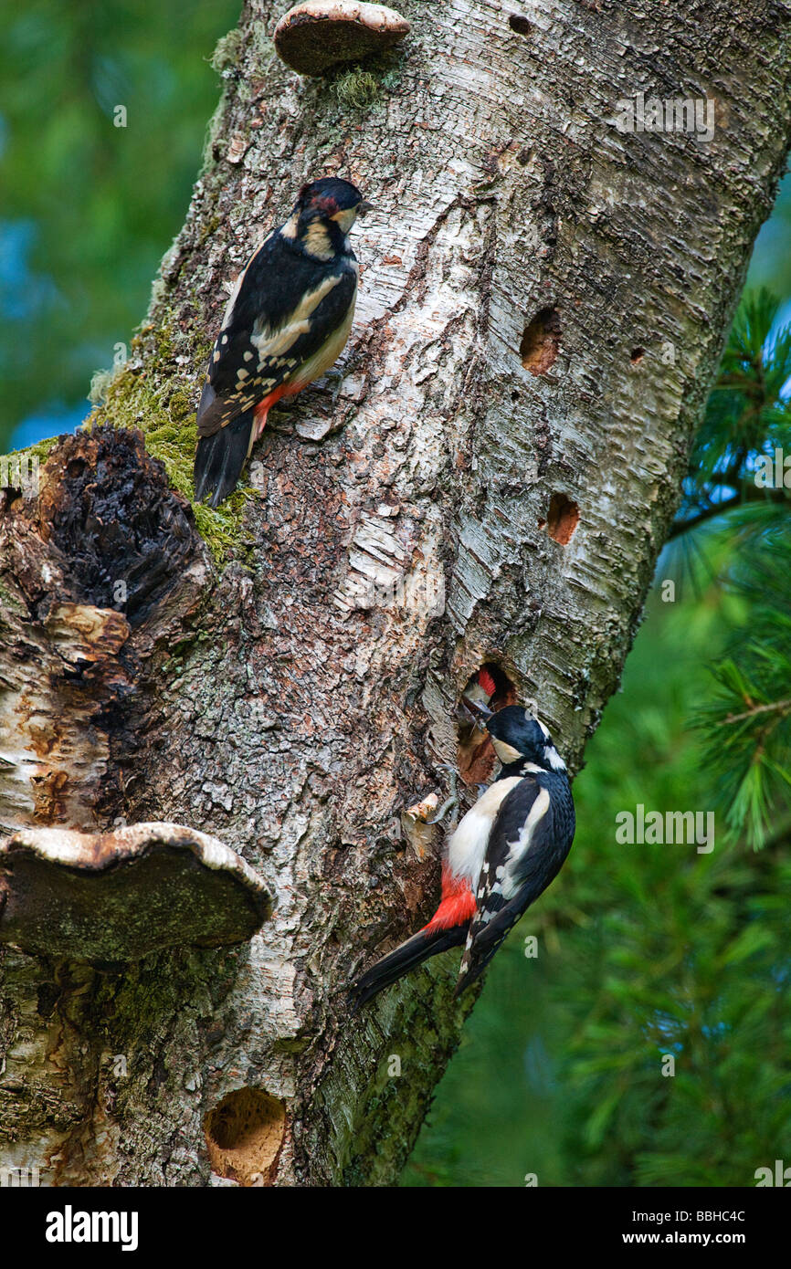 Great spotted woodpeckers [ dendrocopos major] feeding young at nest. - Stock Image
