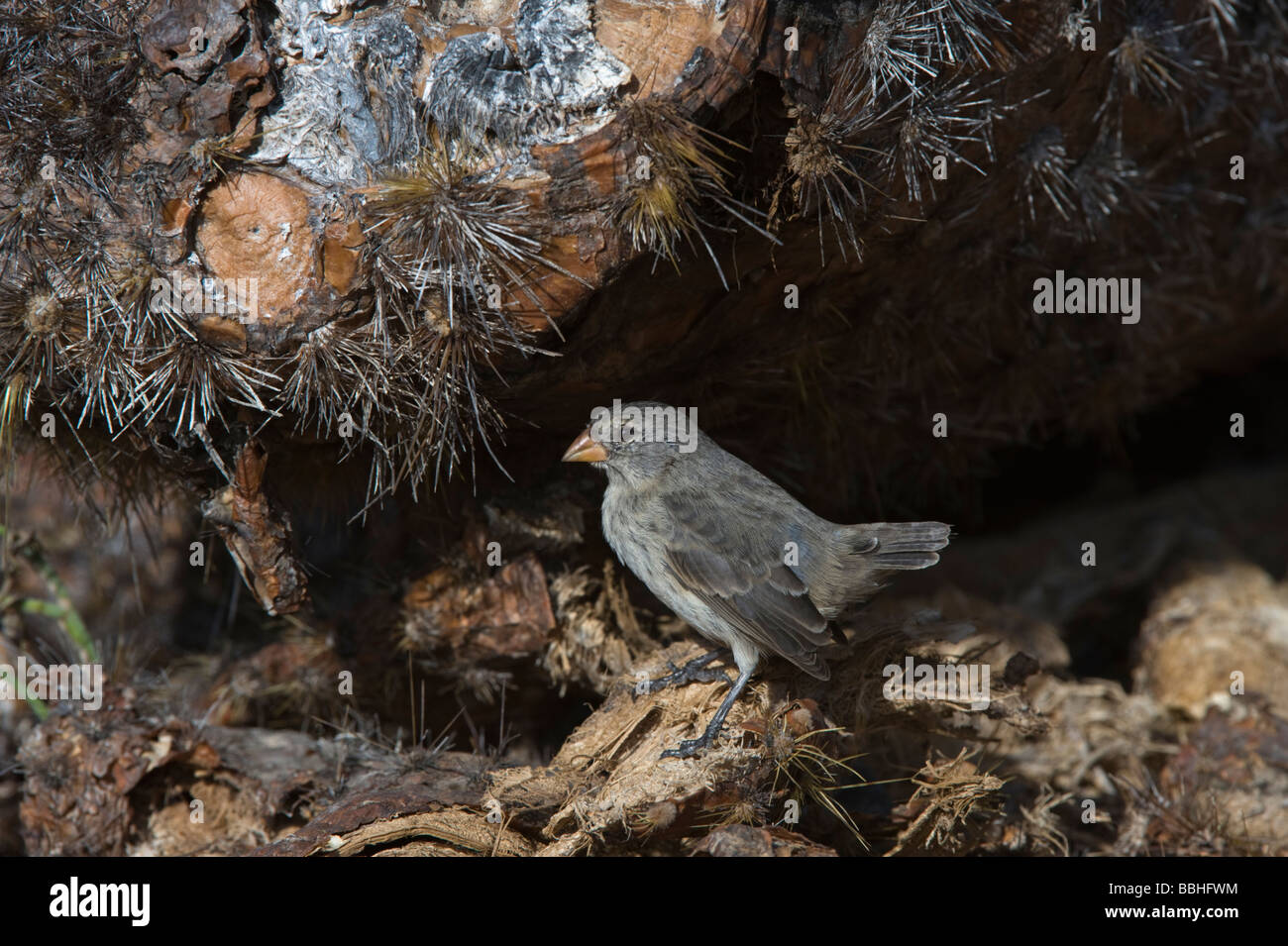 Small-billed ground finch (Geospiza fuliginosa) perched under opuntia South Plaza Galapagos Islands Ecuador Pacific - Stock Image