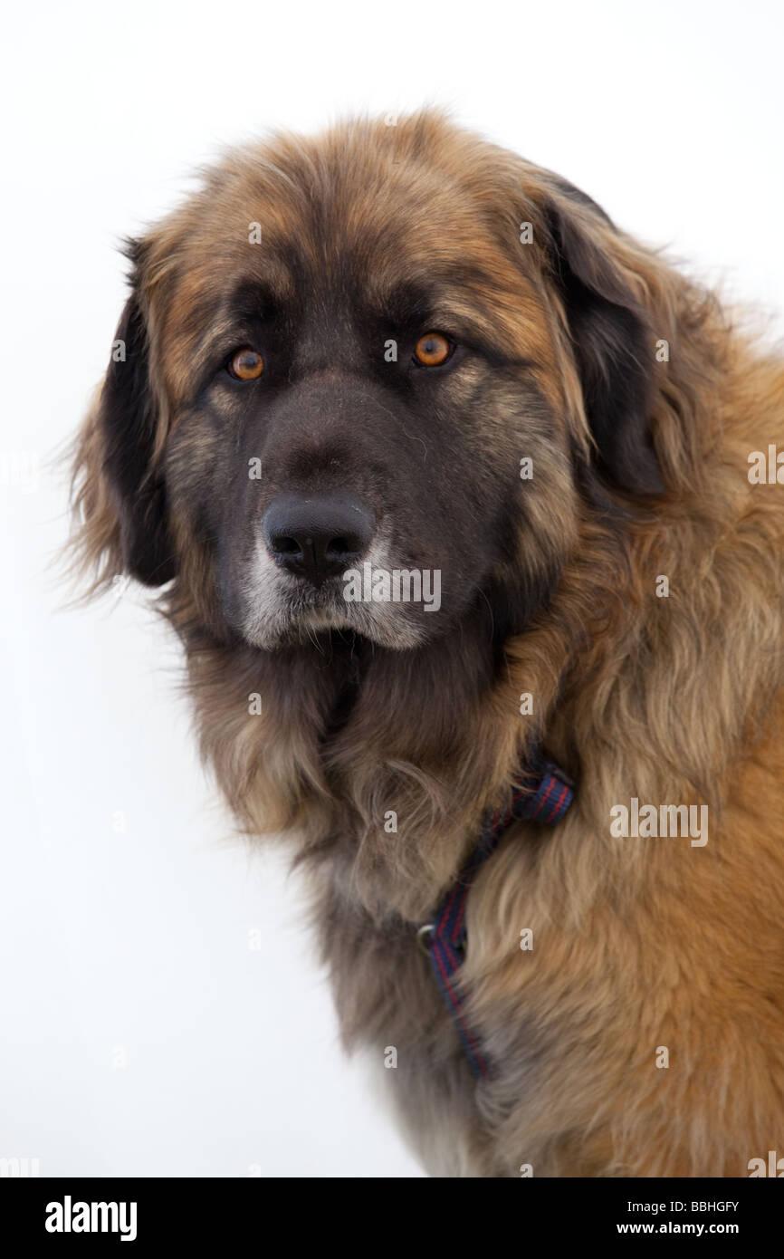mountain rescue dog stock photos  u0026 mountain rescue dog stock images