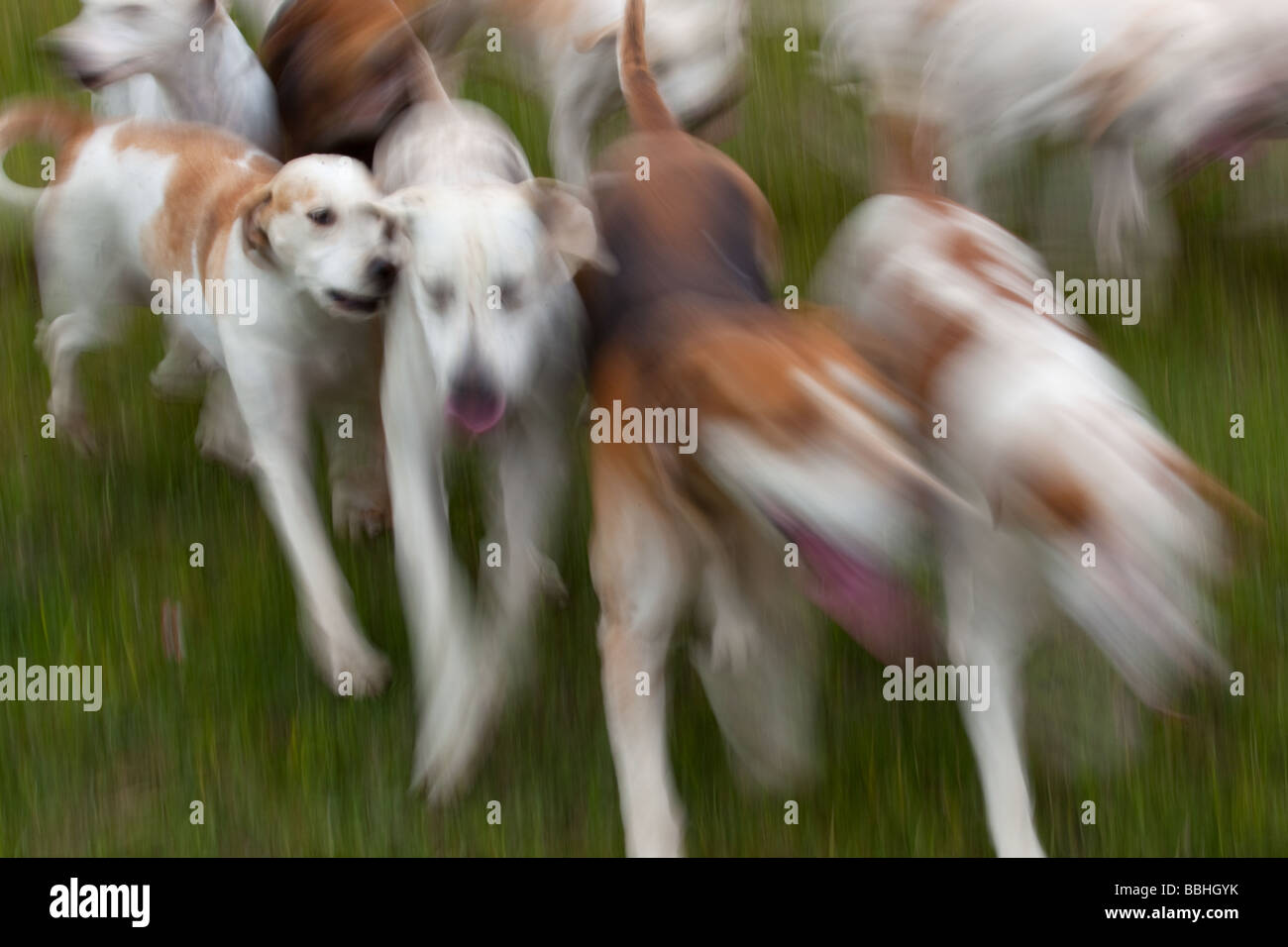 Fox Hound abstract West Norfolk Hunt - Stock Image