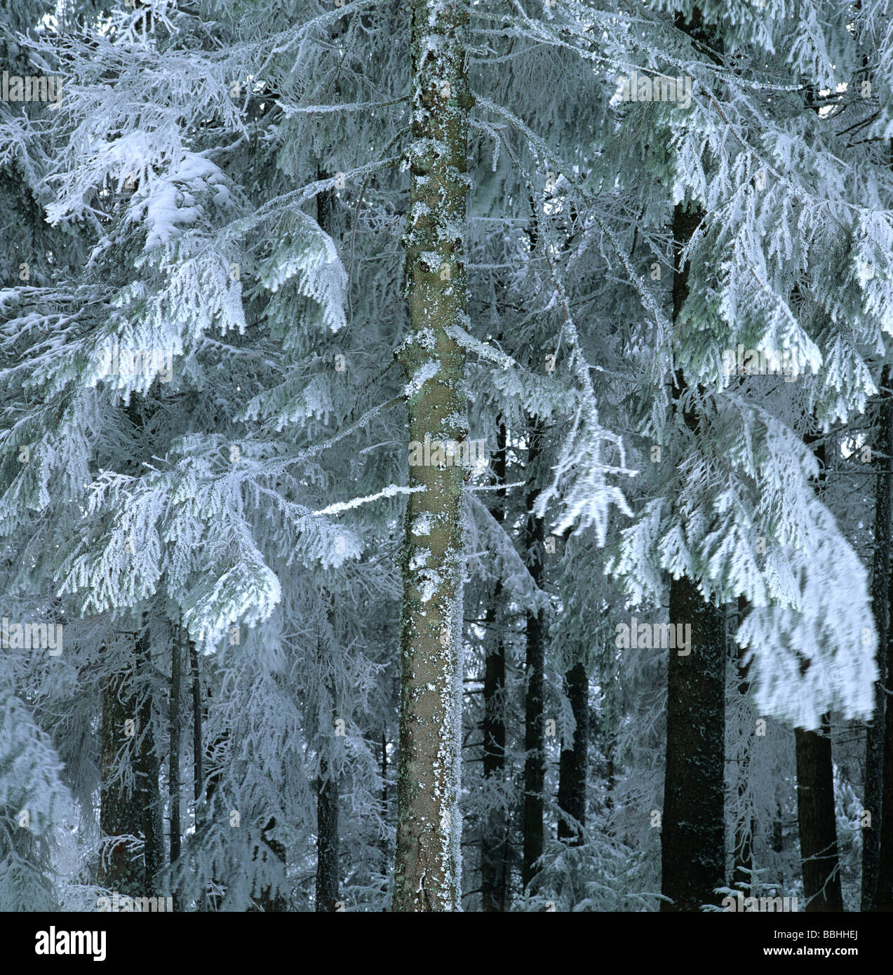 Forest of fir tree snow-covered. - Stock Image