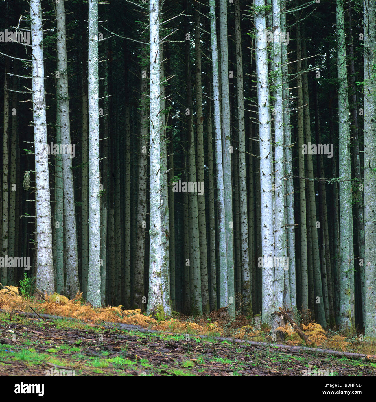 Forest of fir trees. - Stock Image