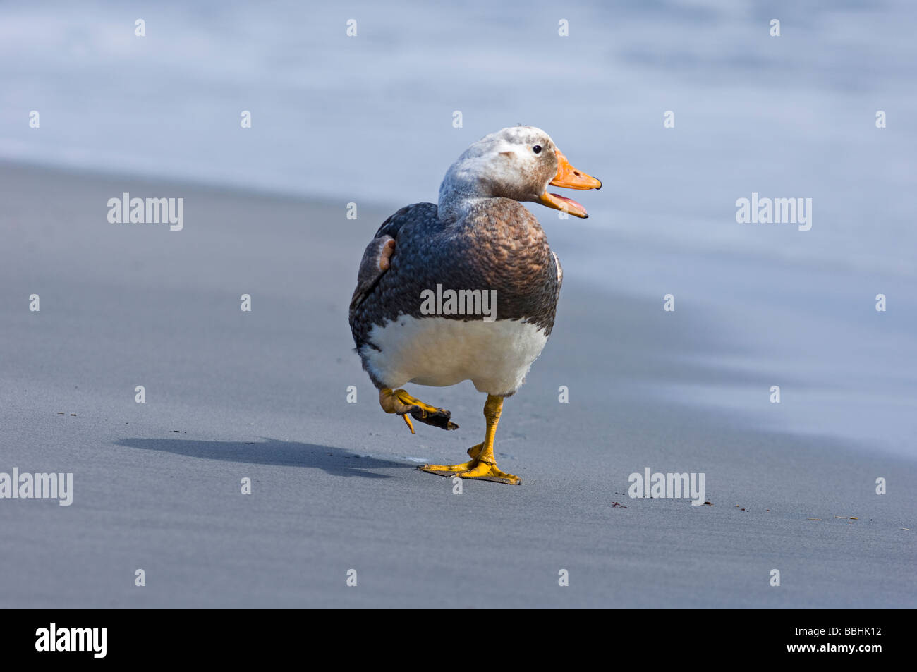 Falkland Flightless Steamer Duck Tachyeres brachypterus male Sea Lion Island Falklands November Stock Photo