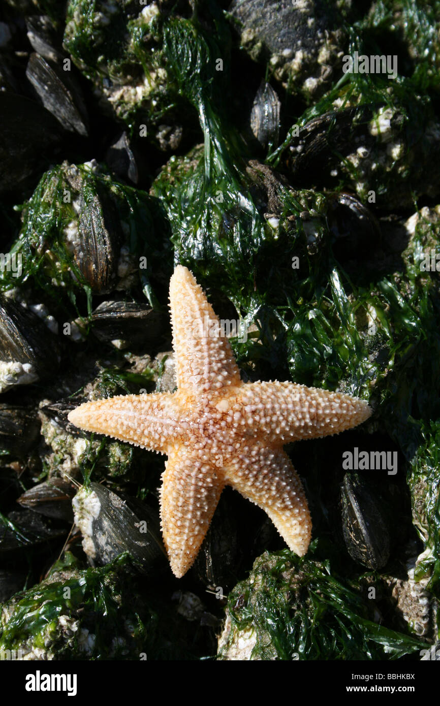 Common Starfish Asterias rubens On Gutweed Covered Common Mussels Mytilus edulis At New Brighton, The Wirral, Merseyside, Stock Photo