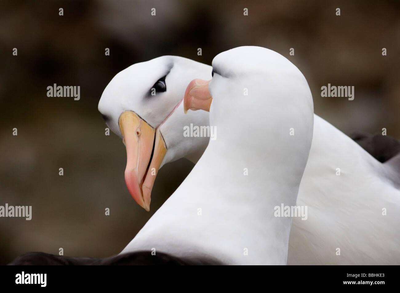 Black browed Albatross Thalassarche melanophrys pair in courtship display New Island Falklands November Stock Photo