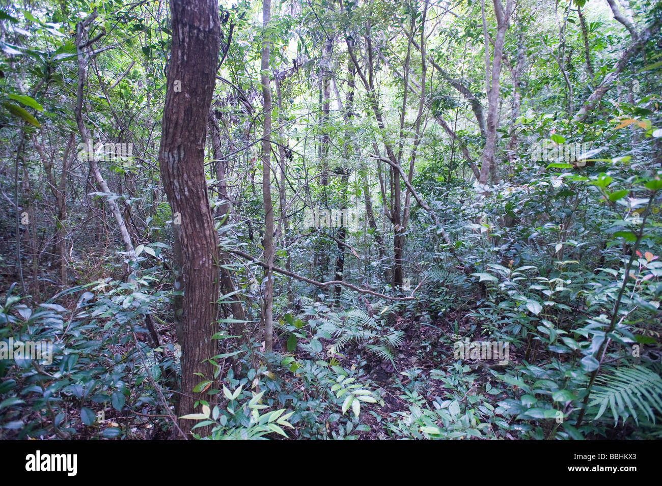 Forest regeneration secondary growth in Alcoy Forest Cebu Philippines - Stock Image