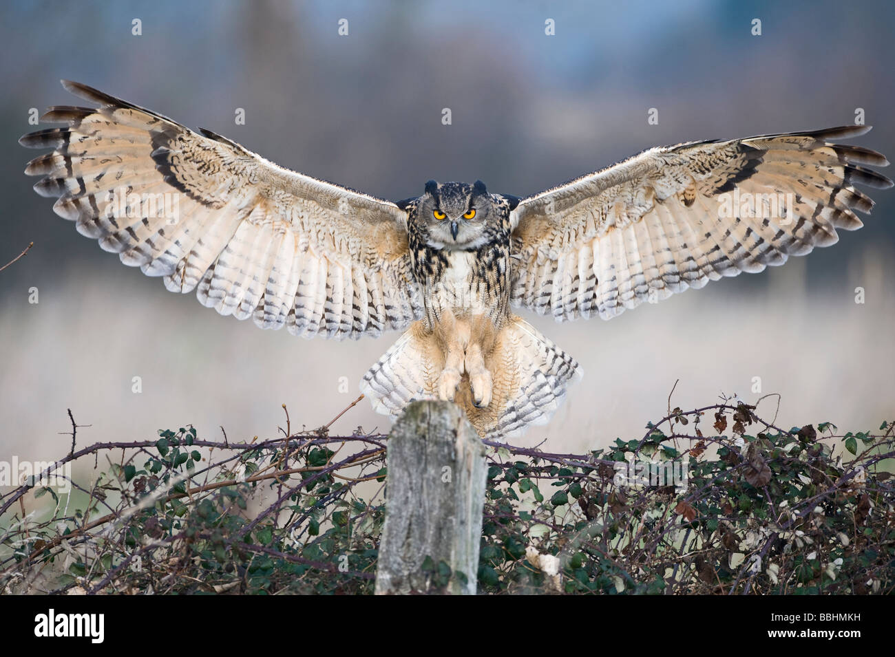 Eagle Owl Bubo bubo Glos UK controlled - Stock Image