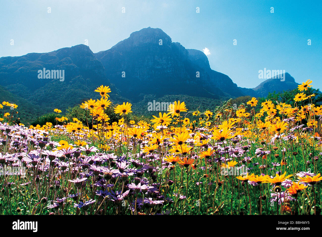 AFTER THE WINTER RAINS HAVE SOAKED THE EARTH A MIRACLE OF NATURE TRANSFORMS THE LANDSCAPE INTO A FLORAL WONDERLAND - Stock Image