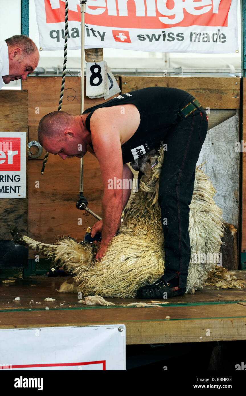 Sheep shearing contest at Northumberland County Show in Corbridge May 2009 - Stock Image