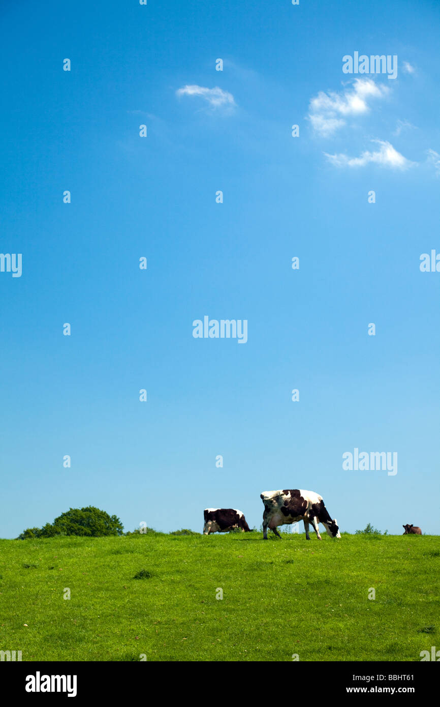 Holstein US or Friesian UK cows grazing on lush green grass on sunny blue sky day, Cheshire, England, UK - Stock Image