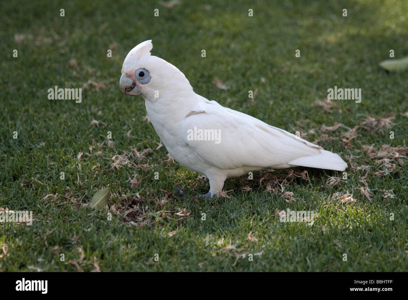 A Little Corella bird in a park in Perth Western Australia - Stock Image