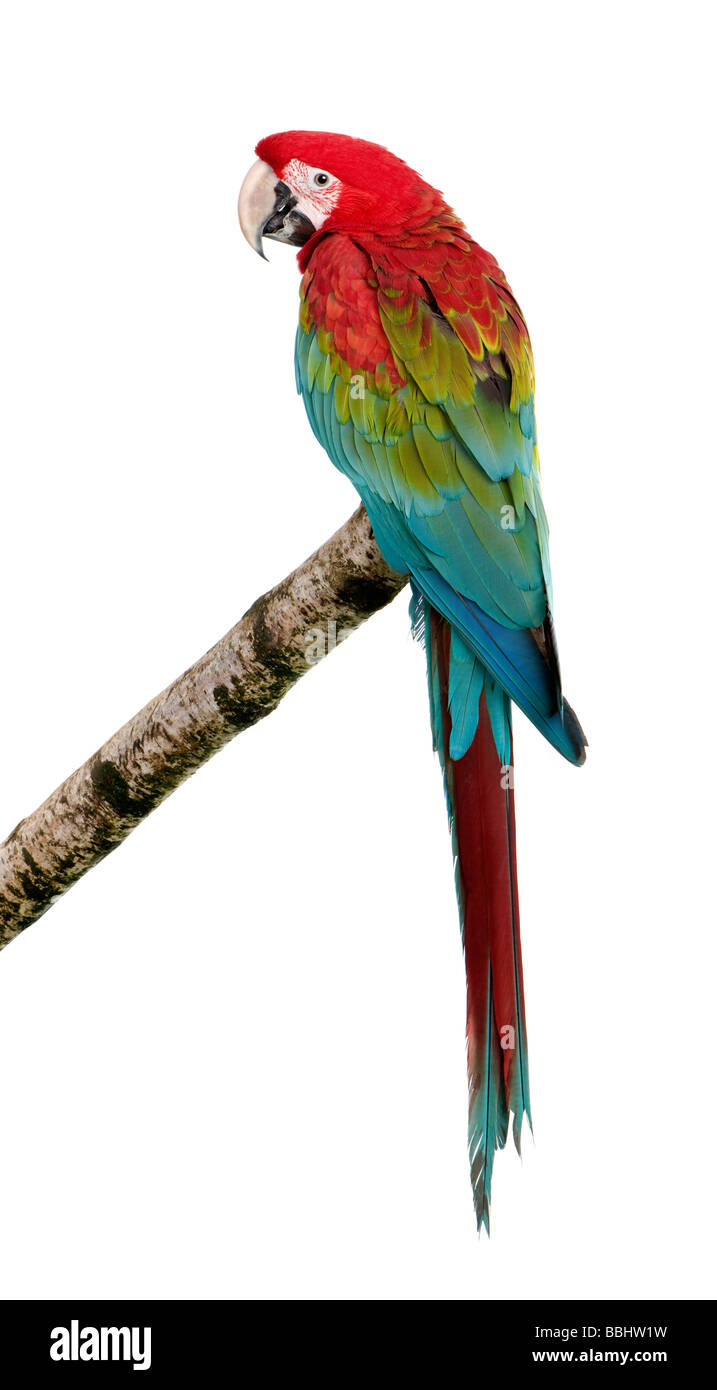 Green winged Macaw Ara chloropterus 18 months in front of a white background - Stock Image