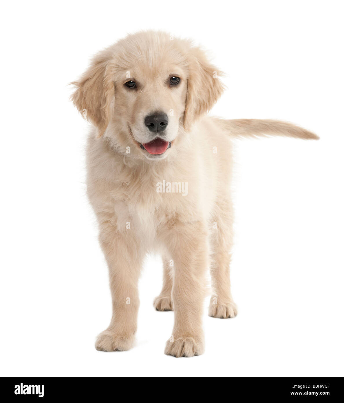 puppy Labrador 4 months old in front of a white background - Stock Image