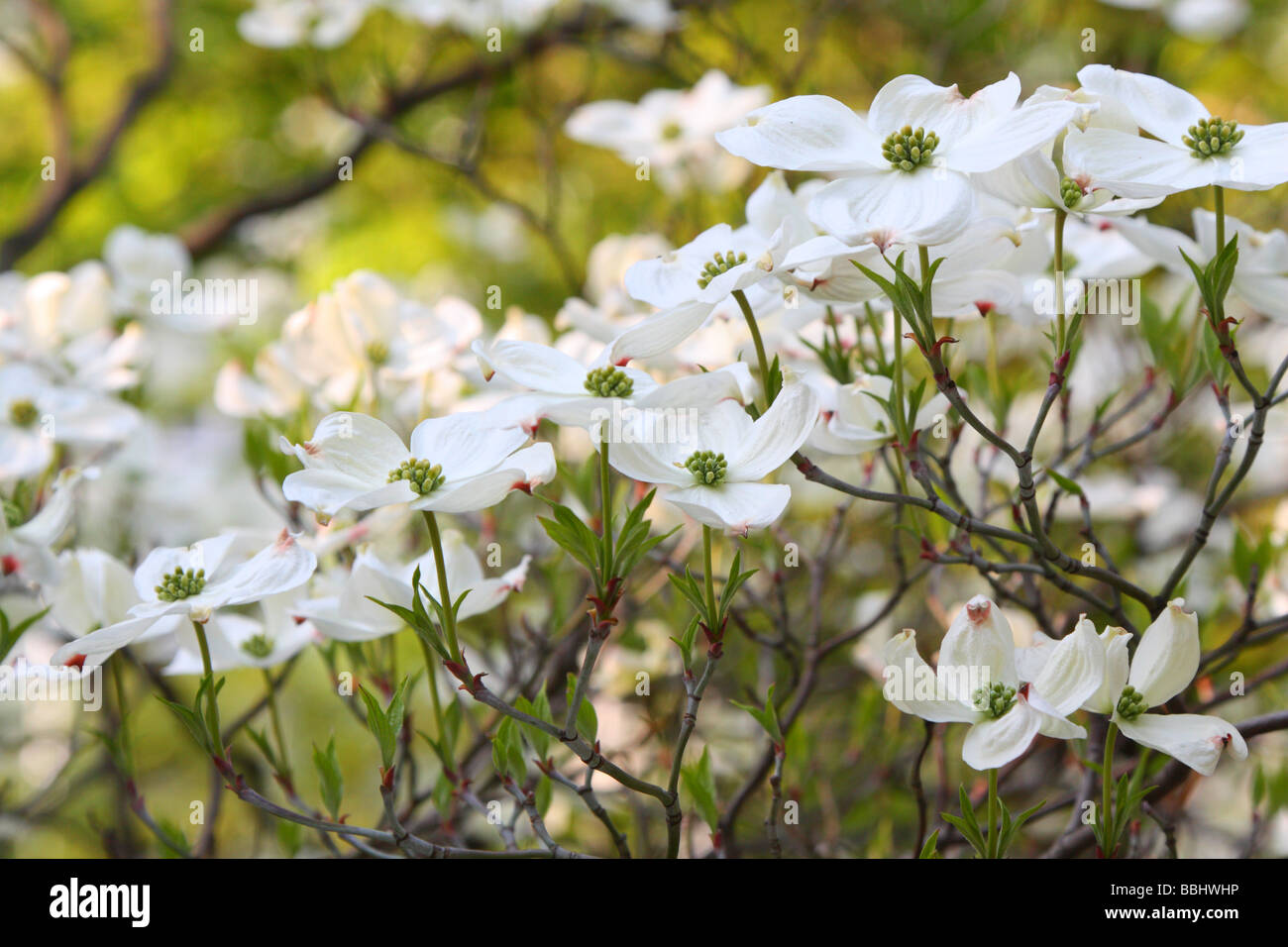 White dogwood flowers stock photos white dogwood flowers stock white dogwood flowers blooming cornus florida stock image mightylinksfo