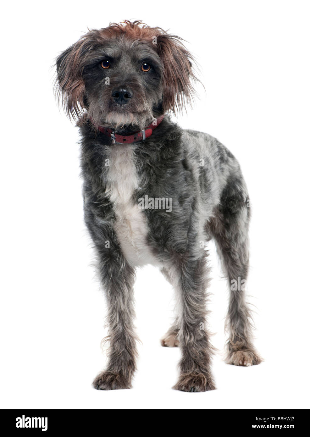 griffon 3 years old in front of a white background - Stock Image
