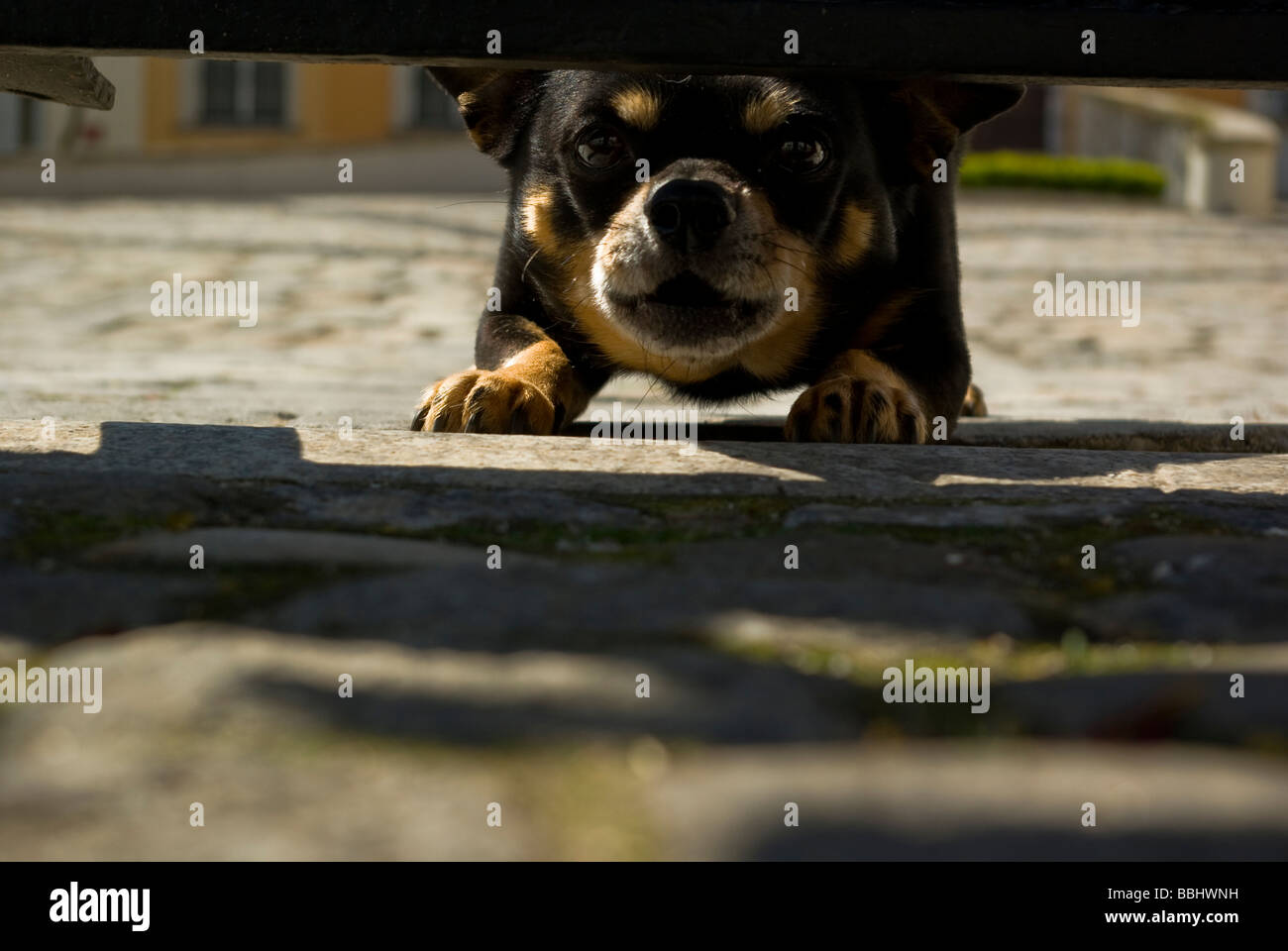 Angry, barking dog under the fence mongrel - Stock Image