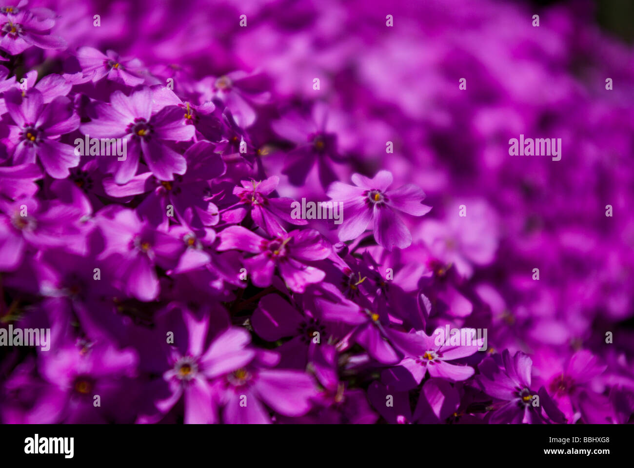 Pink flowers in a spring garden, low depth of field - Stock Image