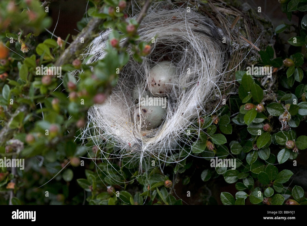Damaged Chaffinches Nest and Eggs - Stock Image
