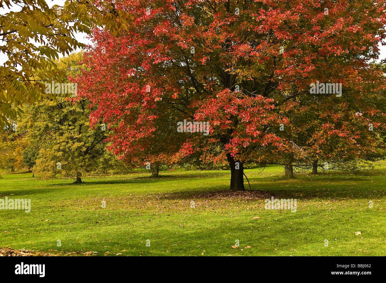 Maple Tree with red leaves Royal Botanical Gardens Hamilton Canada - Stock Image