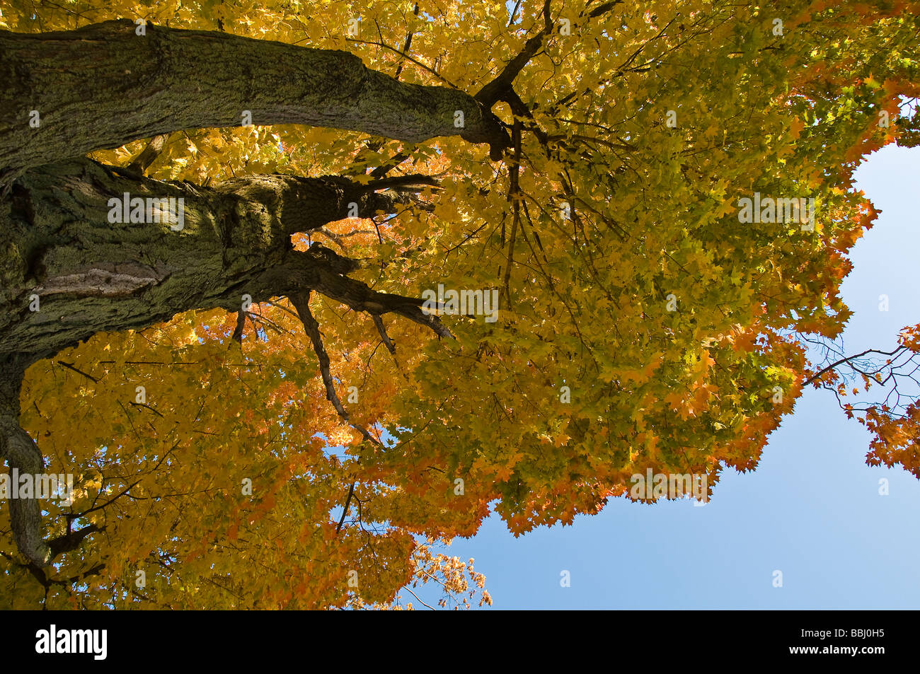 Maple tree with fall colour in Oakville Ontario Canada - Stock Image