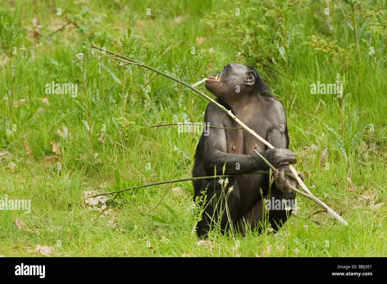 Bonobo Pan paniscus - Stock Image