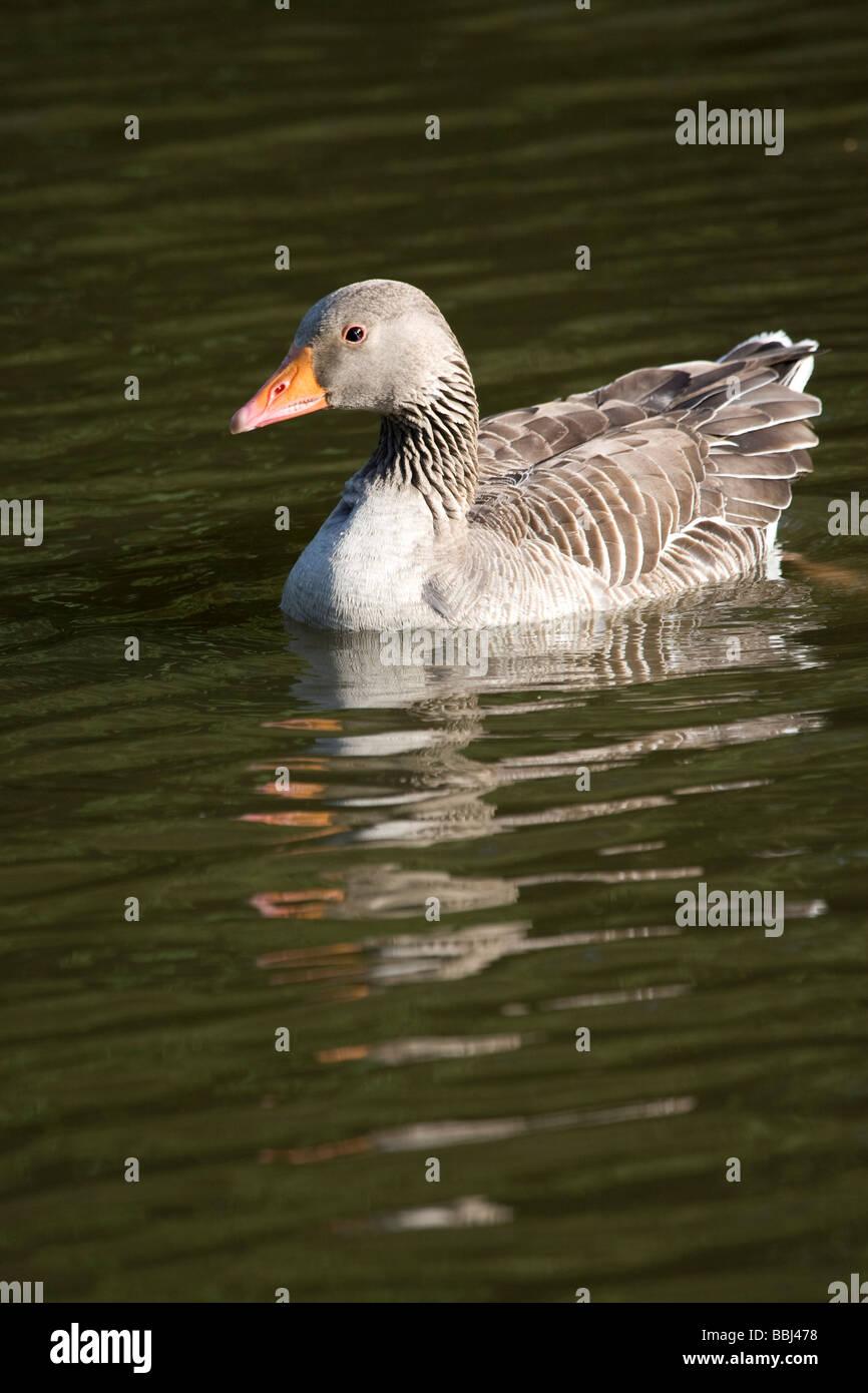 Greylag Grey Lag Goose Ariser anser (Anatidae) Stock Photo