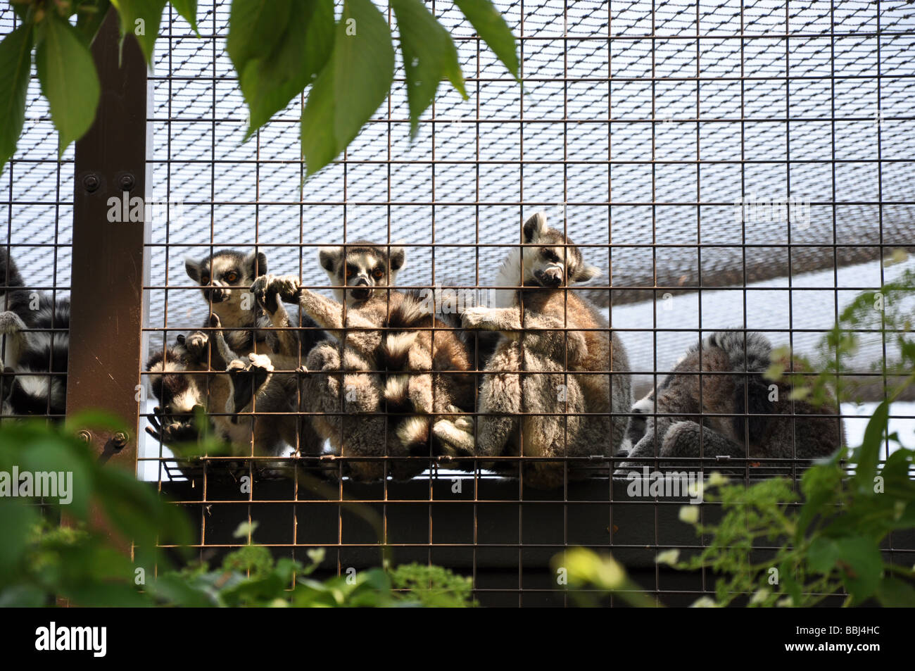 Madagascan ring tailed lemurs in cage - Stock Image