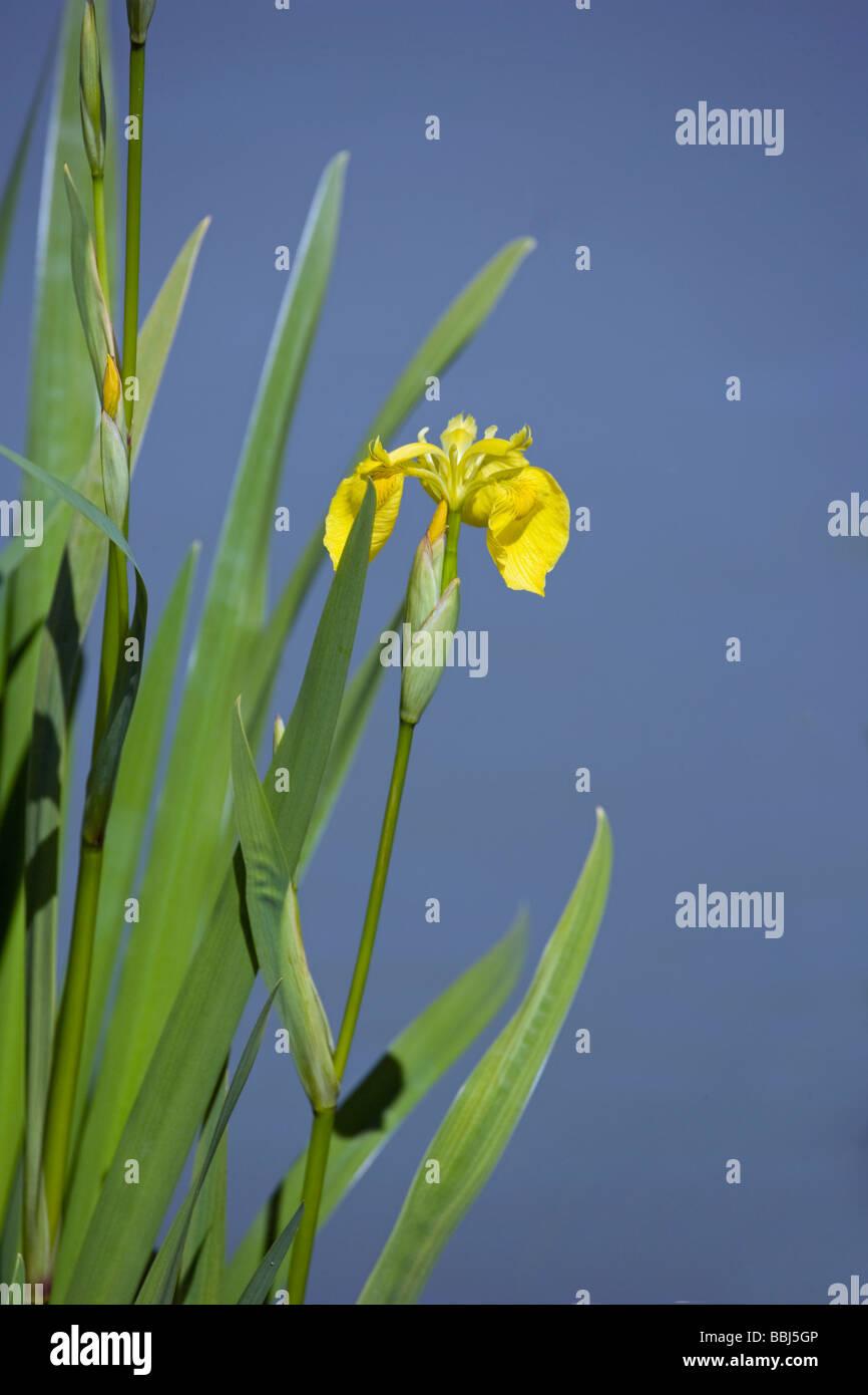 Yellow Flag Iris pseudacorus Iridaceae - Stock Image
