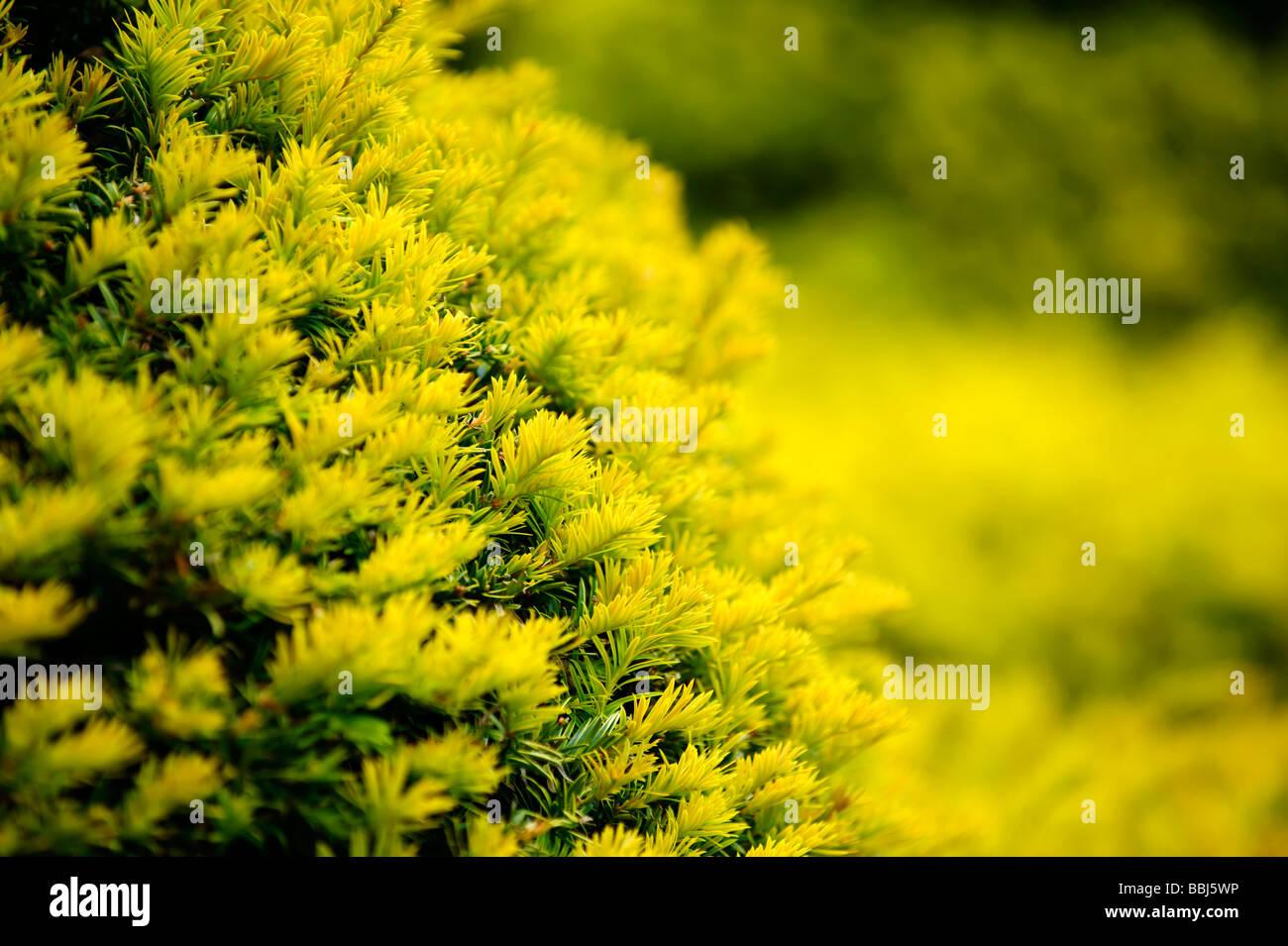 Close up of Yew Tree hedge Stock Photo