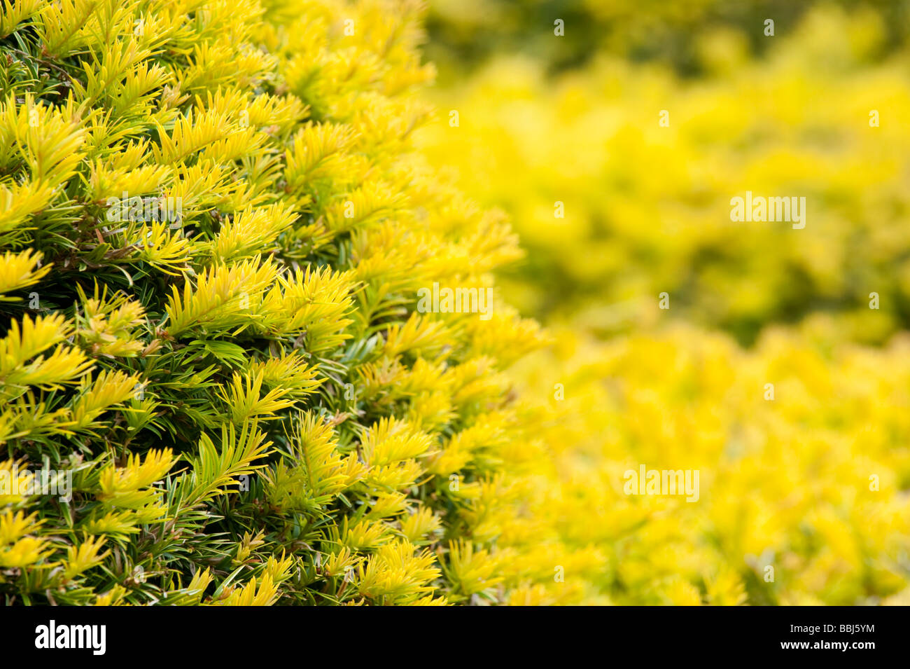 Close up of Yew Tree hedge - Stock Image