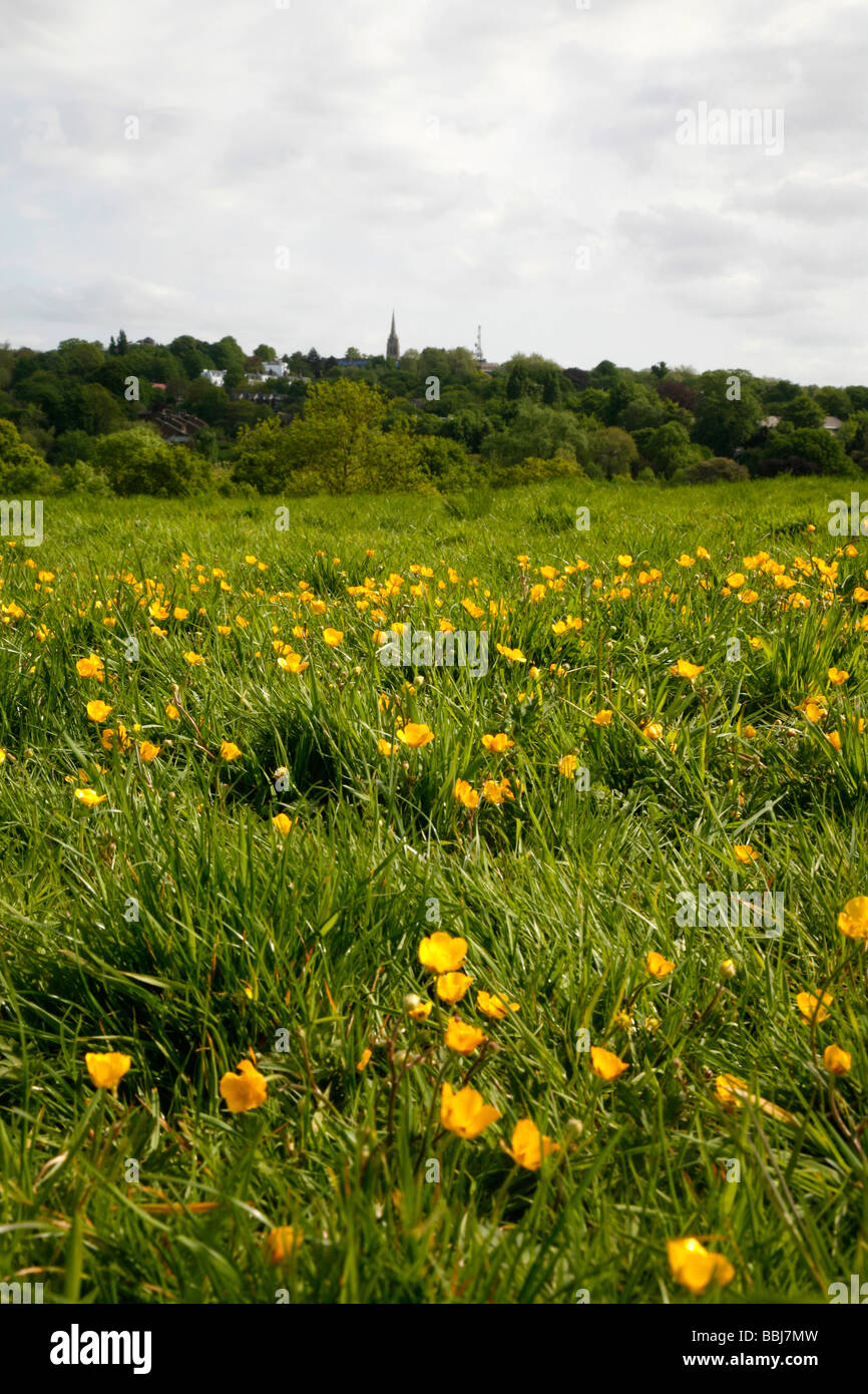 Buttercups in the middle of Hampstead Heath, Hampstead, London, UK - Stock Image