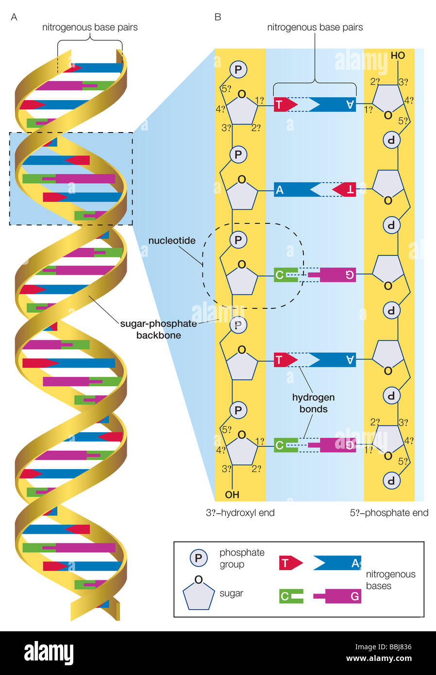 Dna Molecule And Detailed View Illustrating Nucleotides