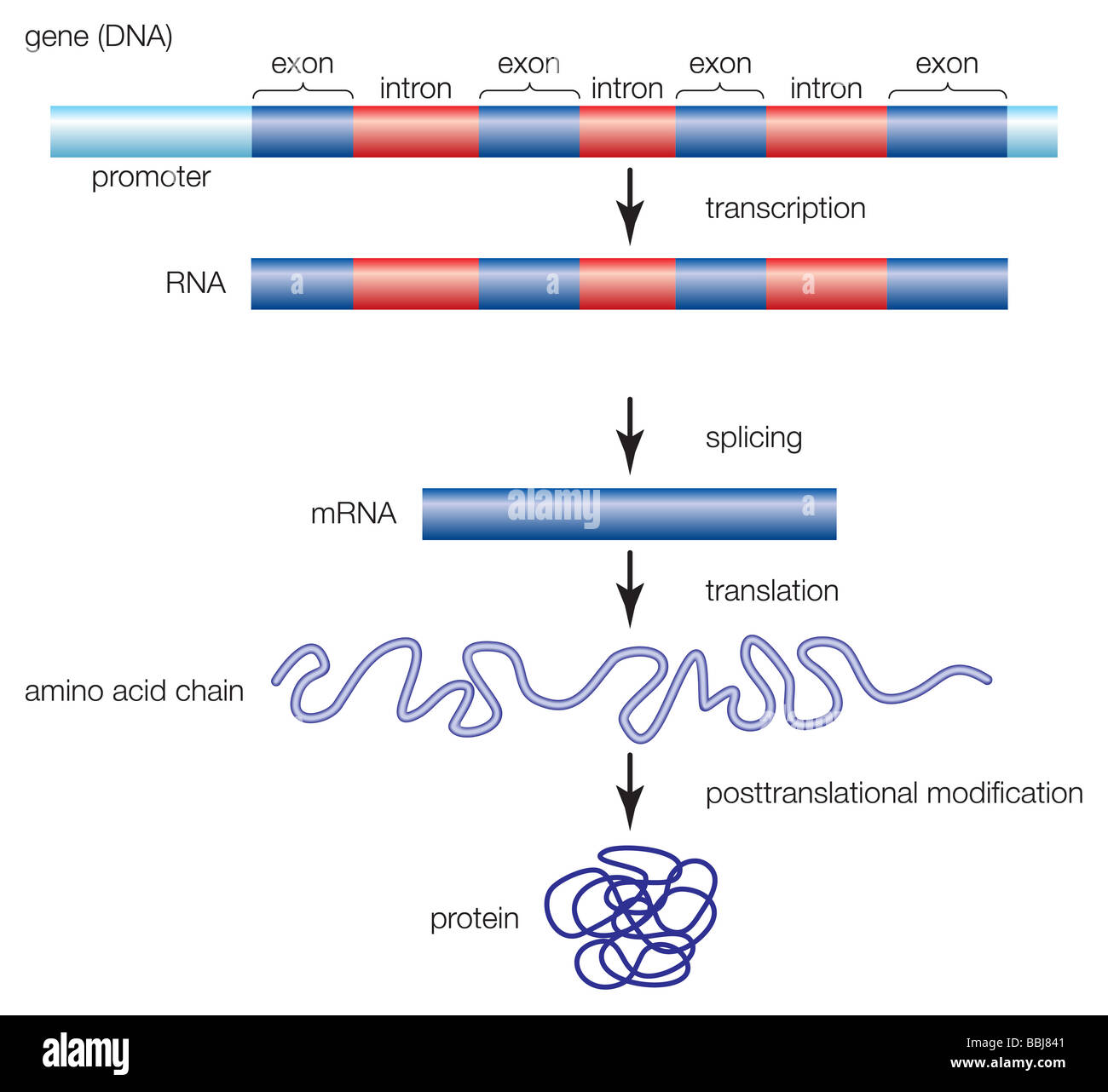 The process by which a gene is transcribed from DNA to RNA, and eventually forms a protein molecule. - Stock Image