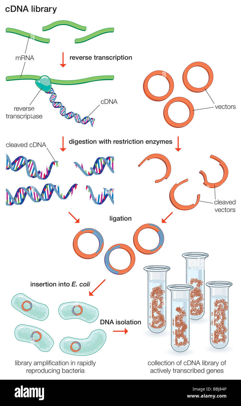 To obtain a complementary DNA (cDNA) library, mRNA molecules are treated with reverse transcriptase, which makes - Stock Image