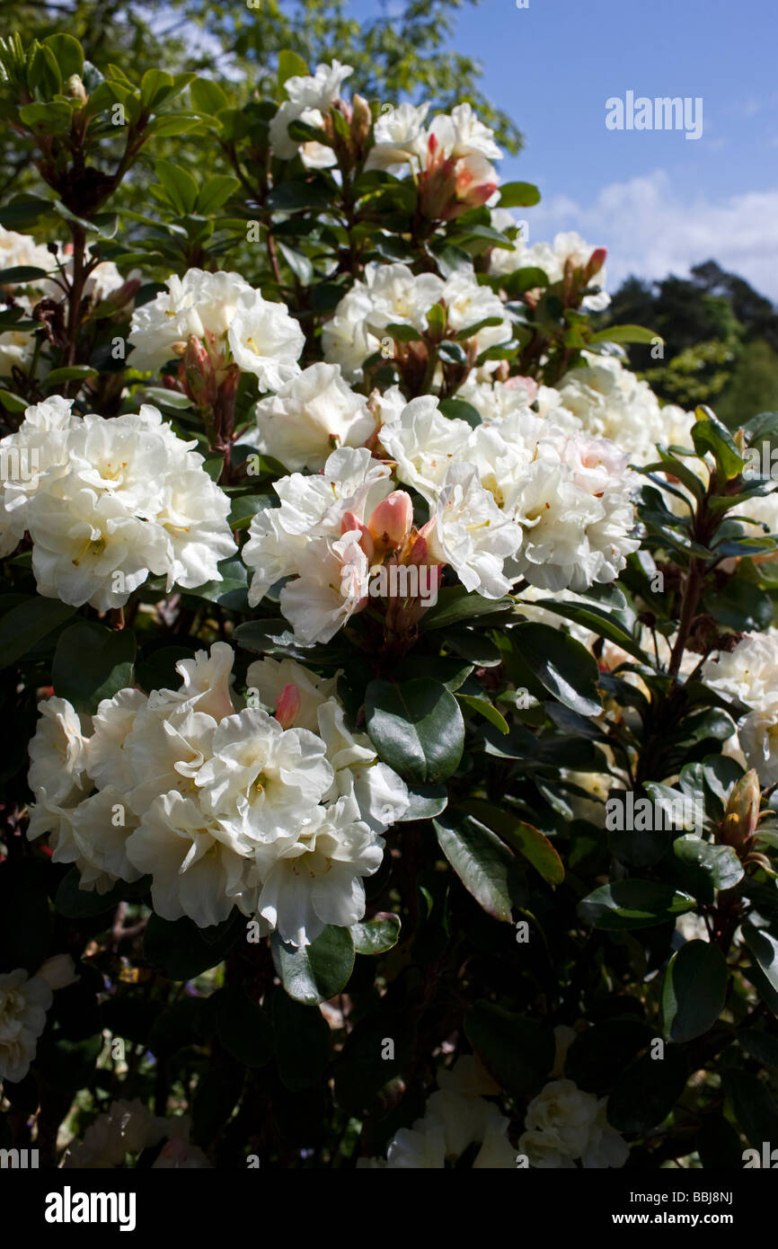 Rhododendron 'Creamy Chiffon' - Stock Image