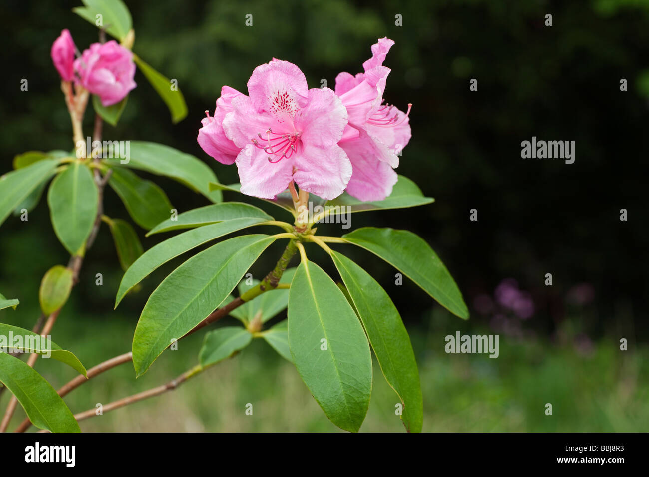 Rhododendron 'Pink Pearl' - Stock Image