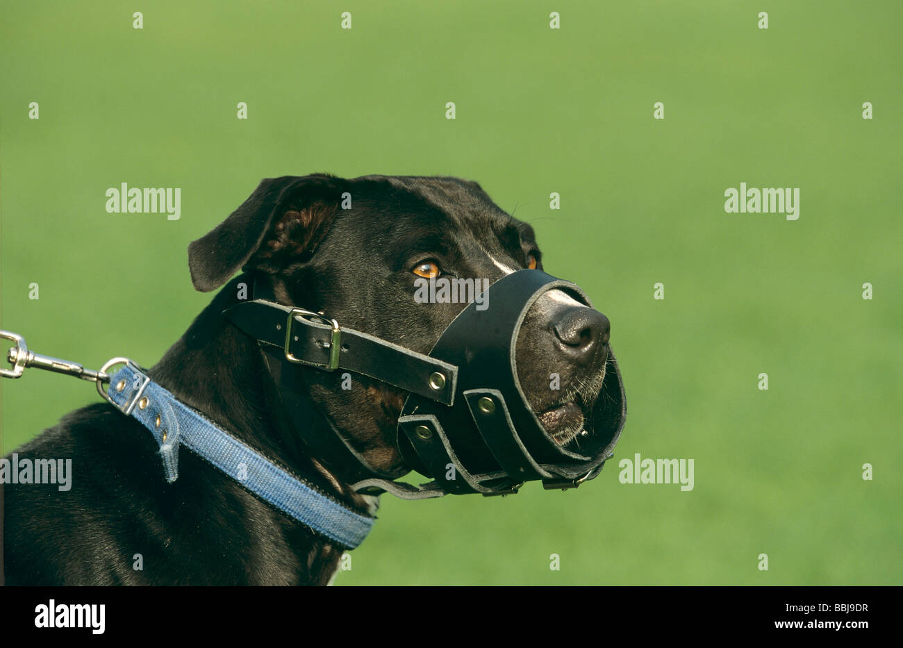 half breed dog (Staffordshire Bullterrier) with muzzle - portrait - Stock Image