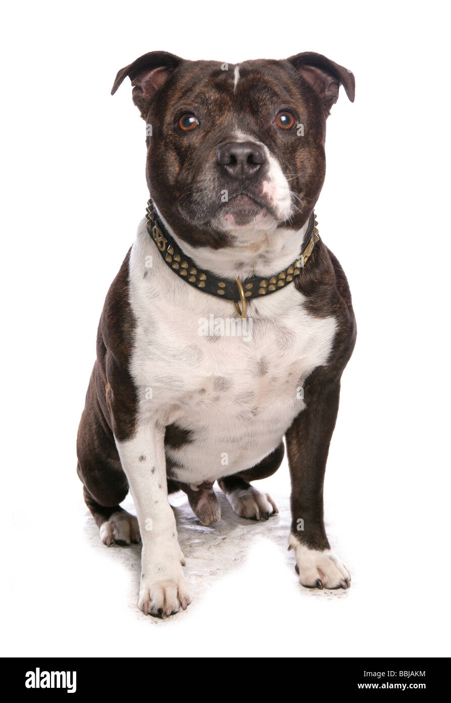 Staffordshire Bull Terrier. Adult dog sitting. Studio picture against a white background - Stock Image