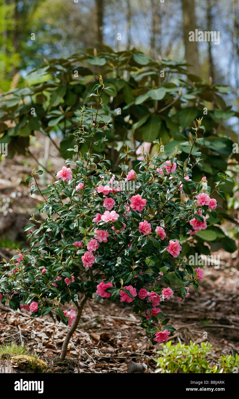 Camellia 'Donation' in woodland planting - Stock Image