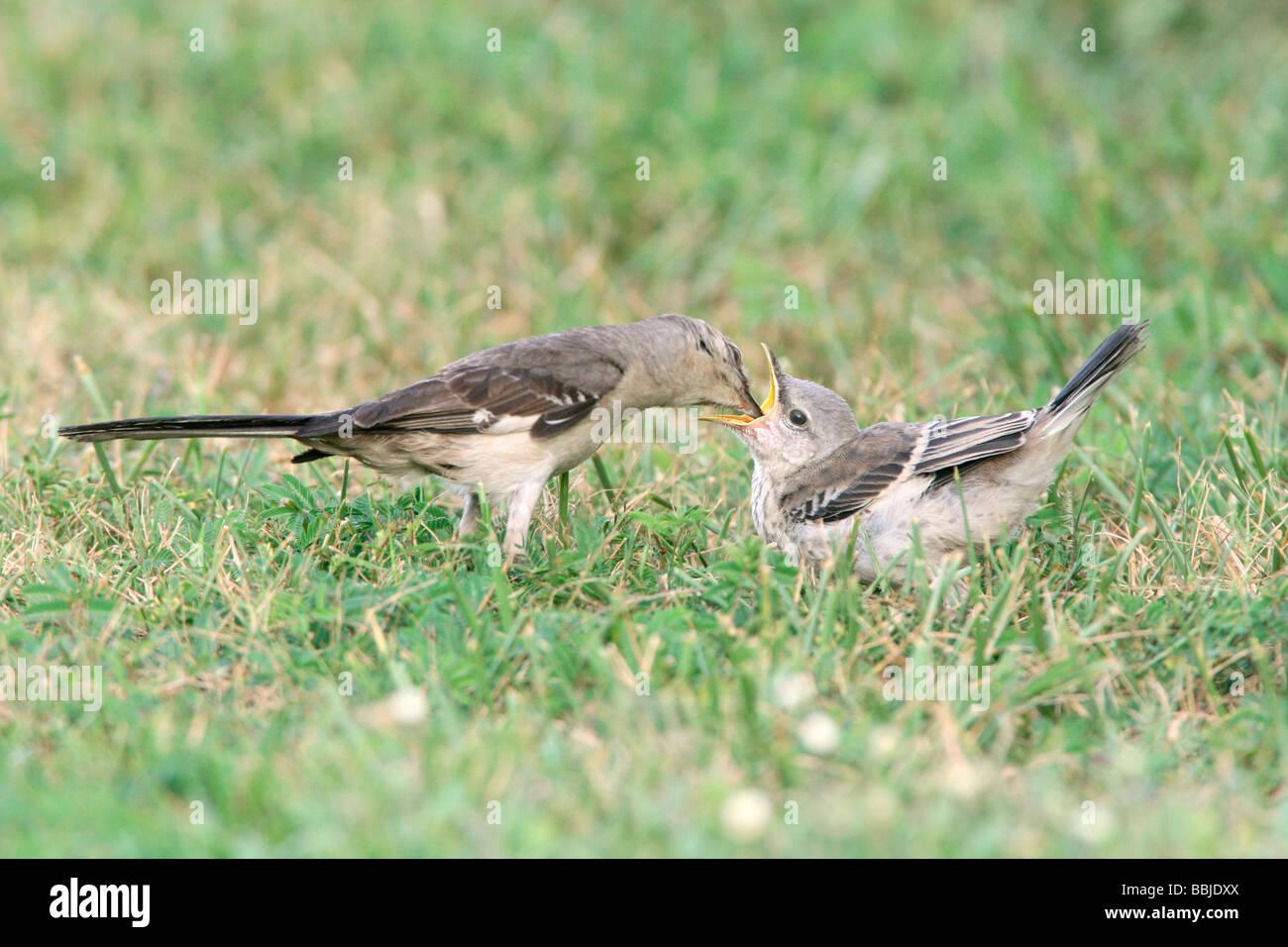 Northern Mockingbird feeding Fledgling Stock Photo