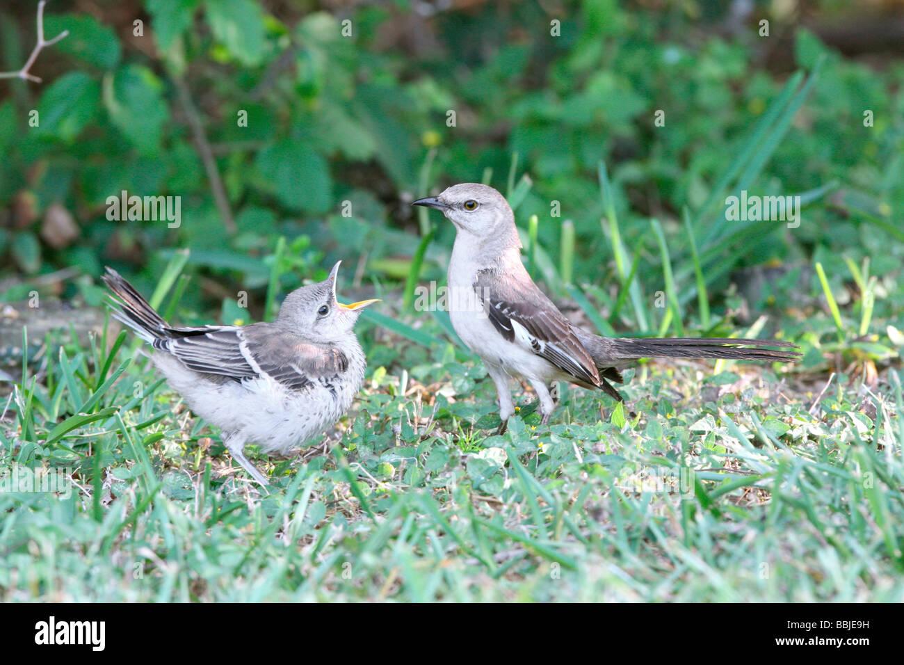 Northern Mockingbird with Fledgling Stock Photo