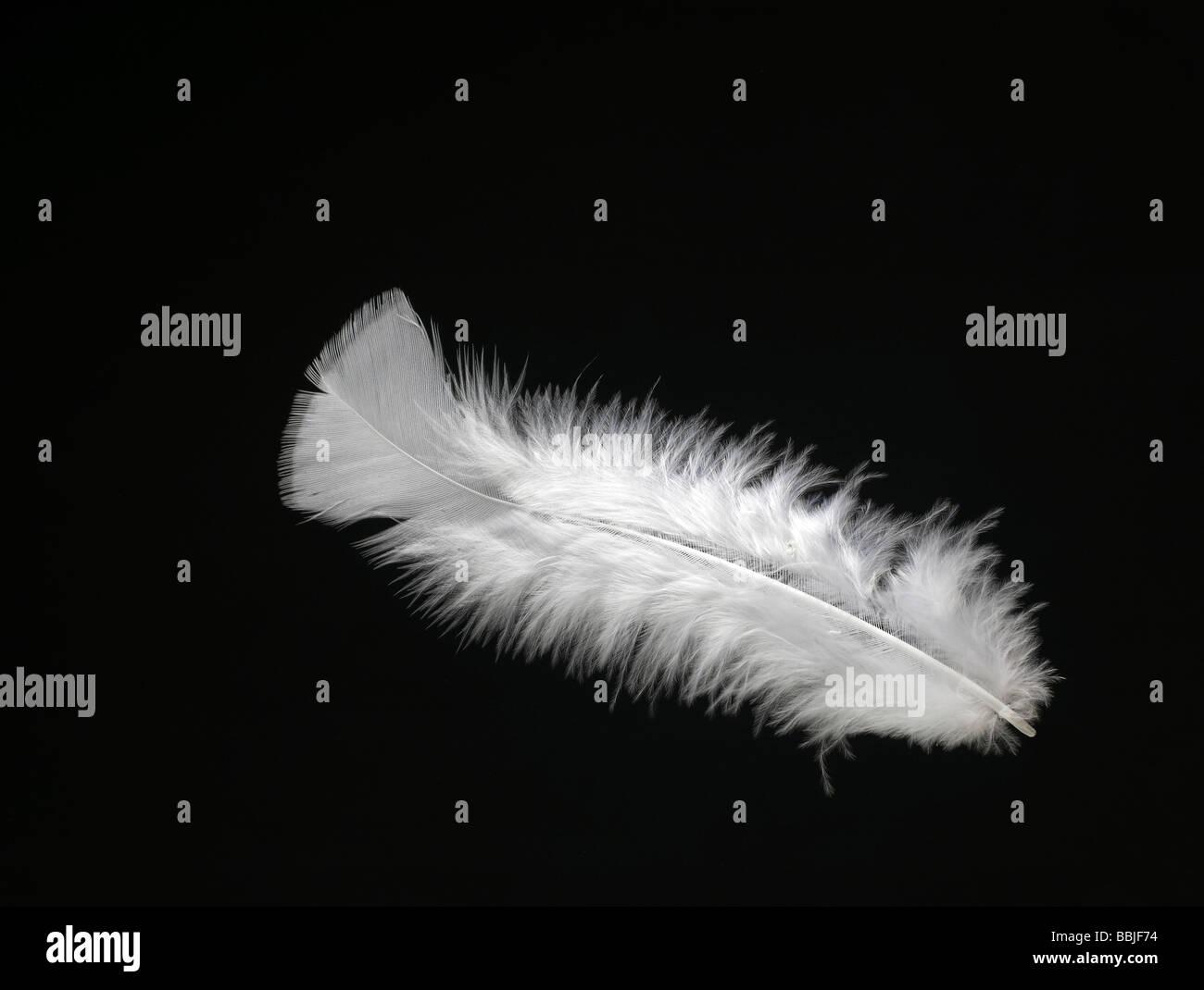Feather Horizontal - Stock Image