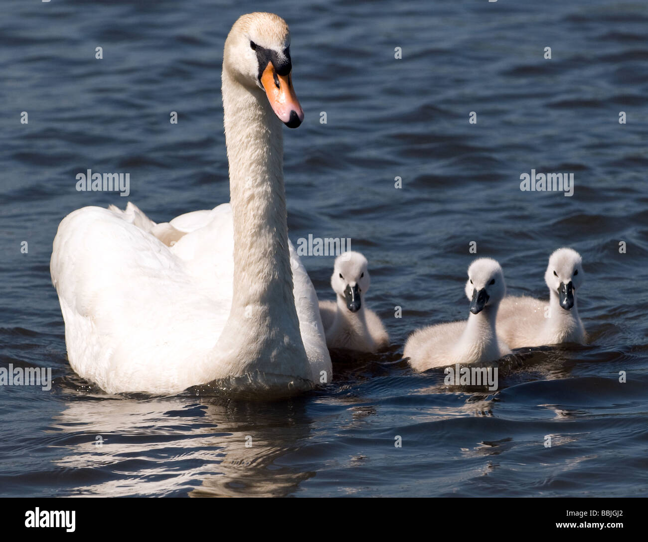 A swan with her three cygnets swimming at Pen Ponds in Richmond Park, Surrey. Stock Photo